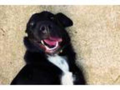 Adopt Athena a Black Labrador Retriever / St. Bernard dog in Kansas City
