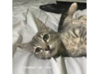 Adopt Joeleen a Domestic Short Hair
