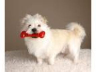 Adopt Gus a White - with Red, Golden, Orange or Chestnut Shih Tzu / Mixed dog in