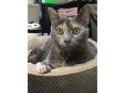 Adopt Hazy a Domestic Short Hair