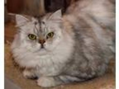 Adopt Lucky a Gray, Blue or Silver Tabby Persian (long coat) cat in Ennis