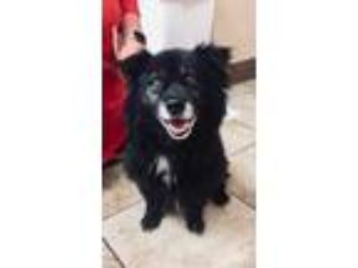 Adopt Dusty a Black Chow Chow / Mixed dog in Cincinnati, OH (25875863)