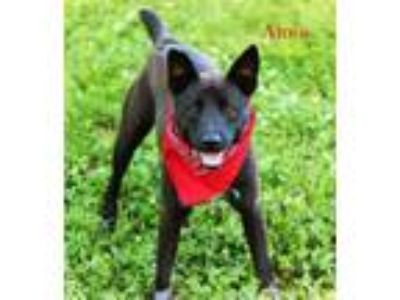 Adopt Amos Riverbend *MEET ME AT AA!* a Labrador Retriever