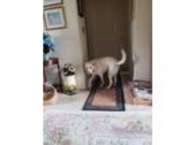 Adopt Buddy a Tan/Yellow/Fawn Labrador Retriever / Mixed dog in Windsor