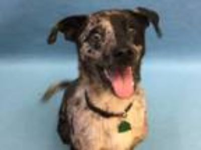 Adopt Ozzy Pawsborn a Catahoula Leopard Dog, Mixed Breed
