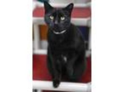 Adopt BIGS a All Black Domestic Shorthair / Domestic Shorthair / Mixed cat in