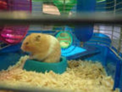 Adopt SIMON a Tan or Beige Hamster / Mixed small animal in Chatsworth