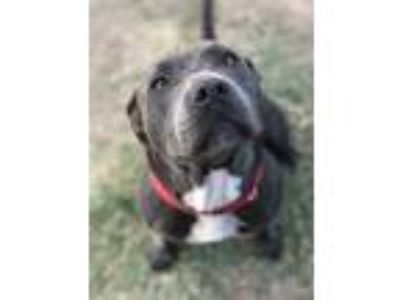 Adopt Cookie a Gray/Blue/Silver/Salt & Pepper American Pit Bull Terrier / Mixed