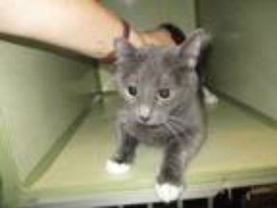 Adopt 123442 a Gray or Blue (Mostly) Domestic Shorthair / Mixed (short coat) cat