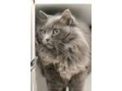 Adopt Blue a Domestic Longhair / Mixed cat in Silverdale, WA (25324024)