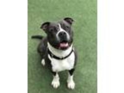 Adopt Shaka a American Pit Bull Terrier / Mixed dog in Oceanside, CA (25312579)
