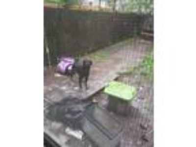 Adopt Diamond a Black German Shepherd Dog dog in Atlanta, GA (25027601)