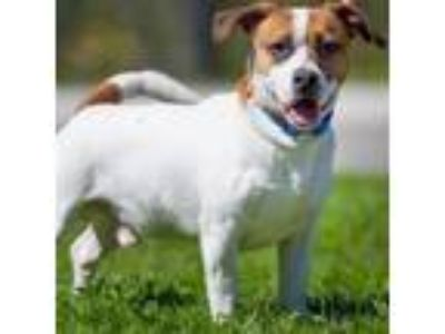 Adopt Bowser a Jack Russell Terrier / Basset Hound / Mixed dog in Long Beach