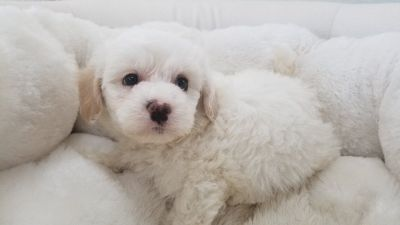Maltipoo Puppy - Male - Michael ($1,199)