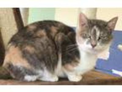 Adopt Violet a Domestic Short Hair