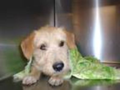 Adopt Dog a Tan/Yellow/Fawn Terrier (Unknown Type, Medium) / Mixed dog in