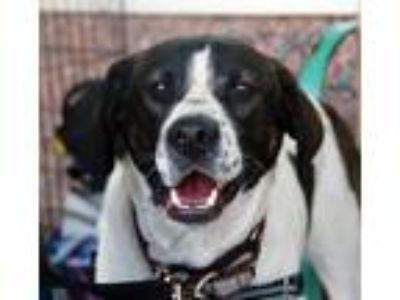 Adopt Andy Griffith a Tricolor (Tan/Brown & Black & White) Hound (Unknown Type)