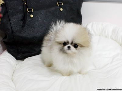 Nice Teacup Pomeranian puppies ready.