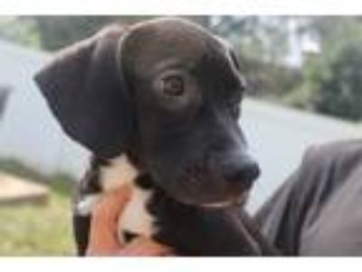 Adopt Ramirez a Black - with White Labrador Retriever / Hound (Unknown Type) /