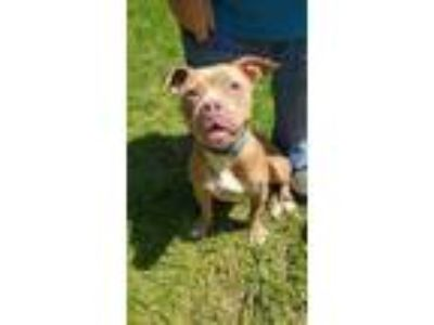 Adopt Cinnamon a Tan/Yellow/Fawn American Pit Bull Terrier / Mixed dog in