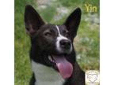 Adopt Yin a German Shepherd Dog, Husky