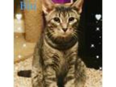 Adopt Blu a Gray or Blue Domestic Shorthair / Mixed (short coat) cat in