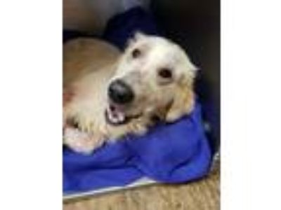 Adopt Ronny a Golden Retriever