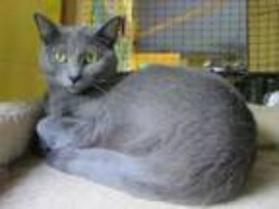 Adopt Mandy (available to foster or adopt) a Domestic Short Hair
