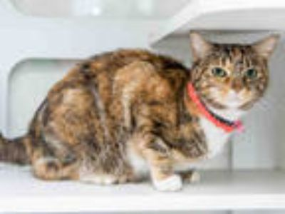 Adopt CAMILA a Brown Tabby Domestic Shorthair / Mixed (short coat) cat in Doral