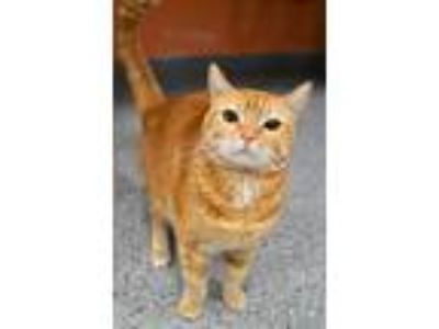 Adopt Polly a Orange or Red Tabby Domestic Shorthair (short coat) cat in