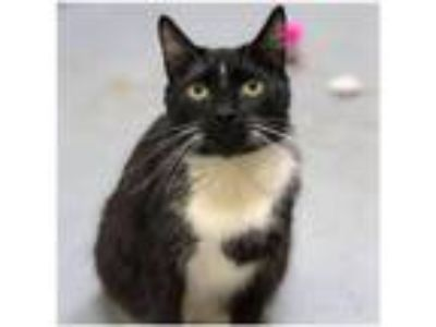 Adopt Pepi 172376 a Domestic Short Hair