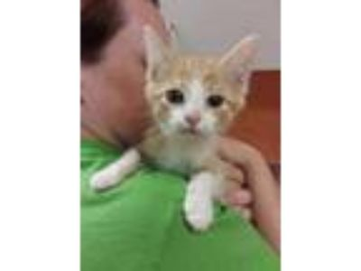 Adopt Yakov a Orange or Red Domestic Shorthair / Mixed cat in Benton