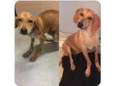 Adopt Riley a Tan/Yellow/Fawn Labrador Retriever / Hound (Unknown Type) dog in