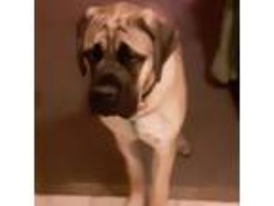 Adopt Puppy boy a Mastiff