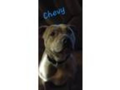 Adopt Chevy a American Staffordshire Terrier, Pit Bull Terrier