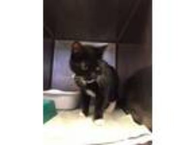 Adopt Luther (Petsmart South Bend) a Domestic Short Hair