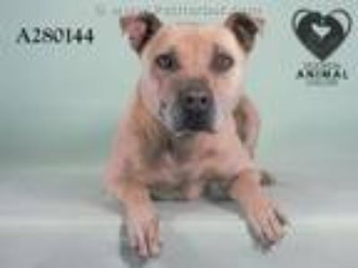 Adopt BURKE a Pit Bull Terrier, Mixed Breed