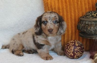 Charming little Miniature Dachshund boy