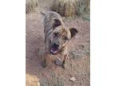 Adopt WINNIE a Brindle Pit Bull Terrier / Mixed dog in Cordes Lakes