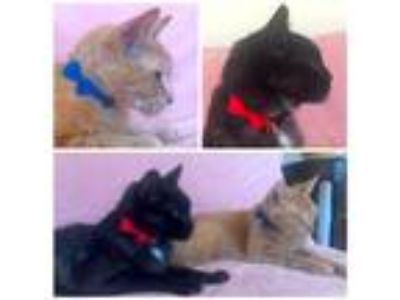Adopt Jack and Walter a Orange or Red Domestic Shorthair / Mixed cat in