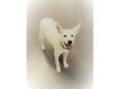 Adopt CRYSTAL a White - with Black Terrier (Unknown Type