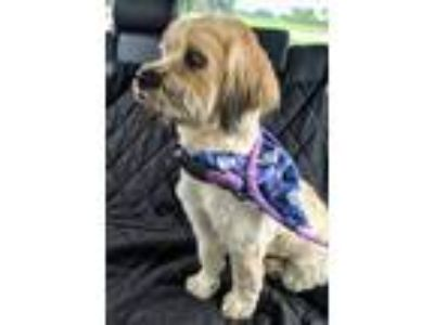 Adopt Rosker a Tan/Yellow/Fawn - with Black Shih Tzu / Havanese / Mixed dog in