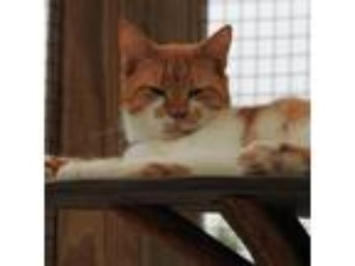 Adopt August a Orange or Red Domestic Shorthair cat in Lake Panasoffkee