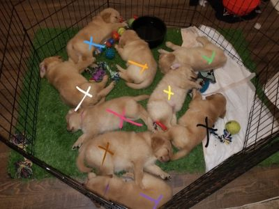Golden Retriever PUPPY FOR SALE ADN-99478 - AKC CH PEDIGREE GOLDEN RETRIEVERS