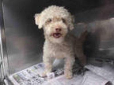 Adopt CARAMELLO a Brown/Chocolate Poodle (Miniature) / Mixed dog in Los Angeles