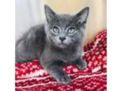 Adopt Fozzie a Domestic Short Hair