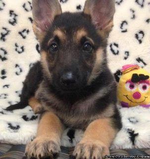 sdfsdf Beautiful Pedigree German Shepherd Puppies