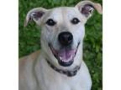 Adopt Chip the Chipper Gal a Yellow Labrador Retriever