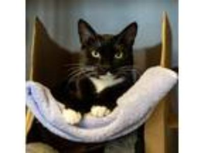 Adopt Rosemary a All Black Domestic Shorthair / Domestic Shorthair / Mixed cat