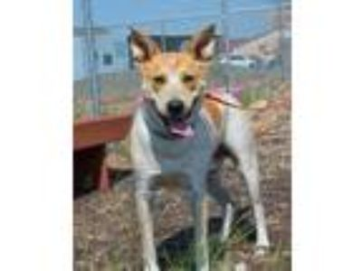 Adopt Newt a White Australian Cattle Dog / Mixed dog in Pendleton, OR (25247190)